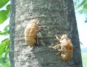 곤충 - 매미허물껍질