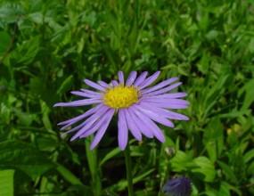 식물 - 벌개미취